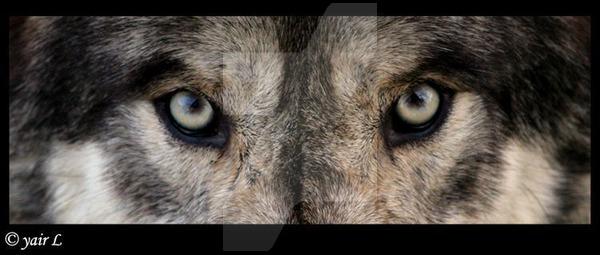 wolf-eye2