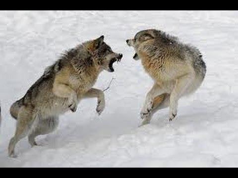 wolfwar