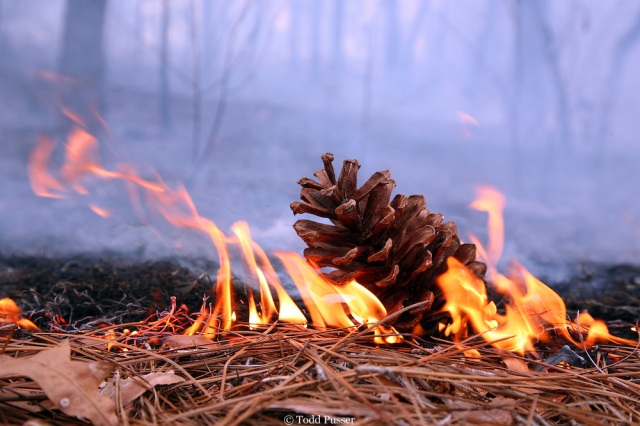 Longleaf-cone-on-fire-Todd-Pusser